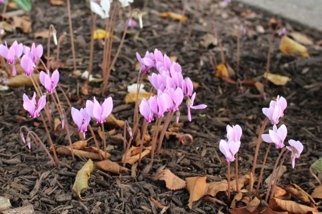 hardy cyclamen hederifolium