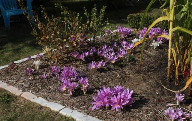 colchicum flower bed