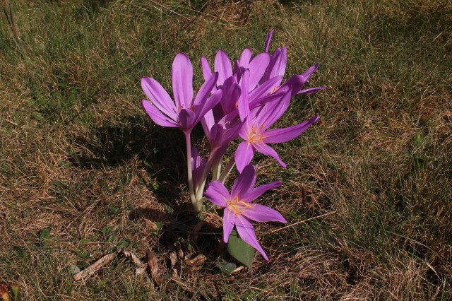 colchicum 'lilac wonder' in lawn