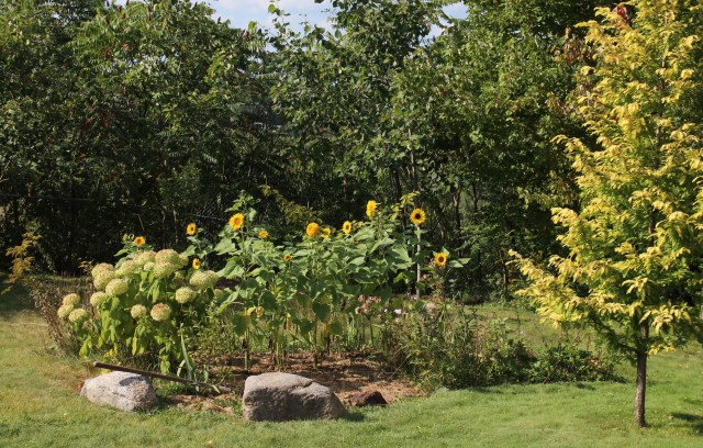 late summer sunflower patch