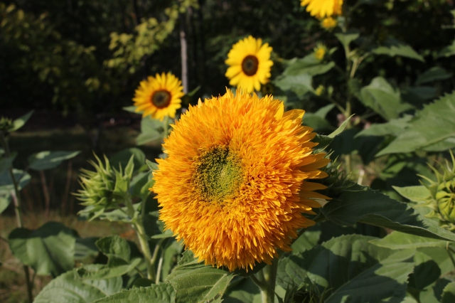 double sunflower