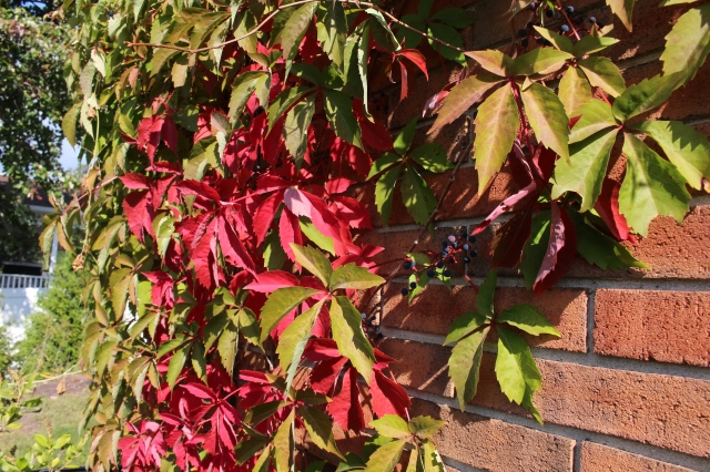 autumn color on Virginia creeper