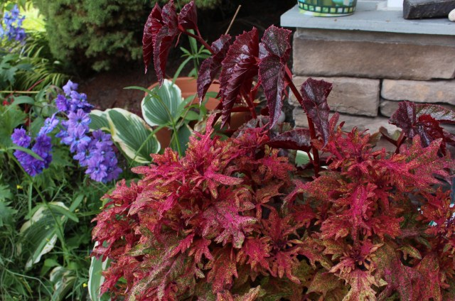 coleus 'limon blush'