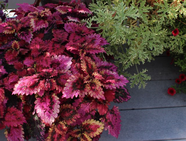 coleus in pot