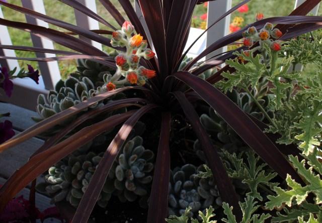 succulents and purple dracaena