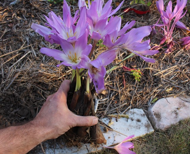 tranplanting colchicum in bloom