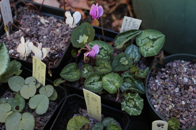hardy cyclamen hederifolium seedlings