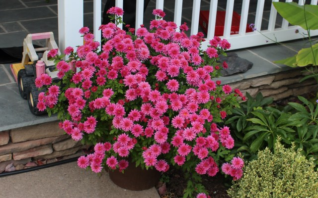 mum 'pink cadillac' chrysanthemum
