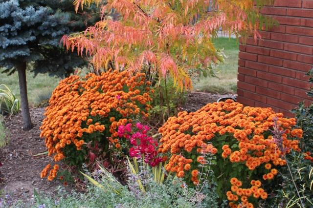 mum 'vicki' chrysanthemum