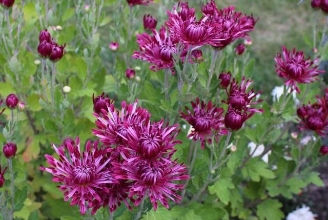 mum 'carousel' chrysanthemum