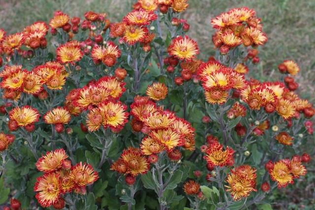 mum 'dolliette' chrysanthemum