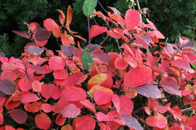 fothergilla fall foliage color