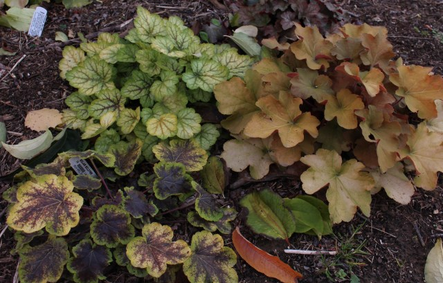 heuchera fall foliage