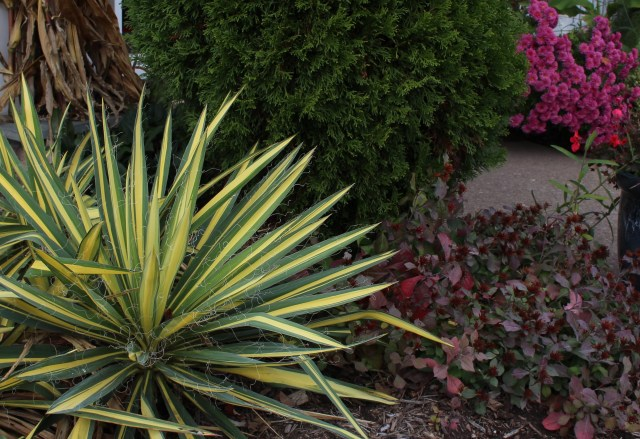 yucca color guard with ceratostigma (leadwort)