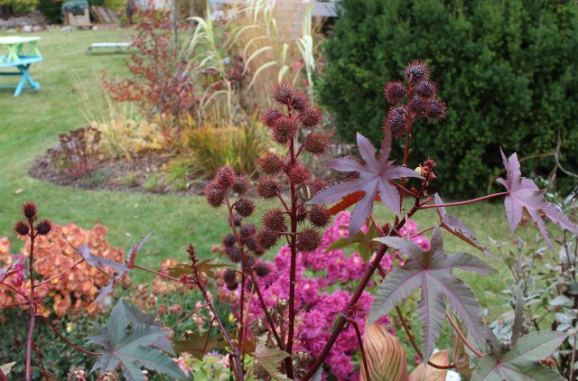 red leaved castor bean seedheads