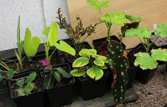 overwintering cuttings under shoplight