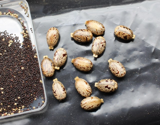 castor bean seeds