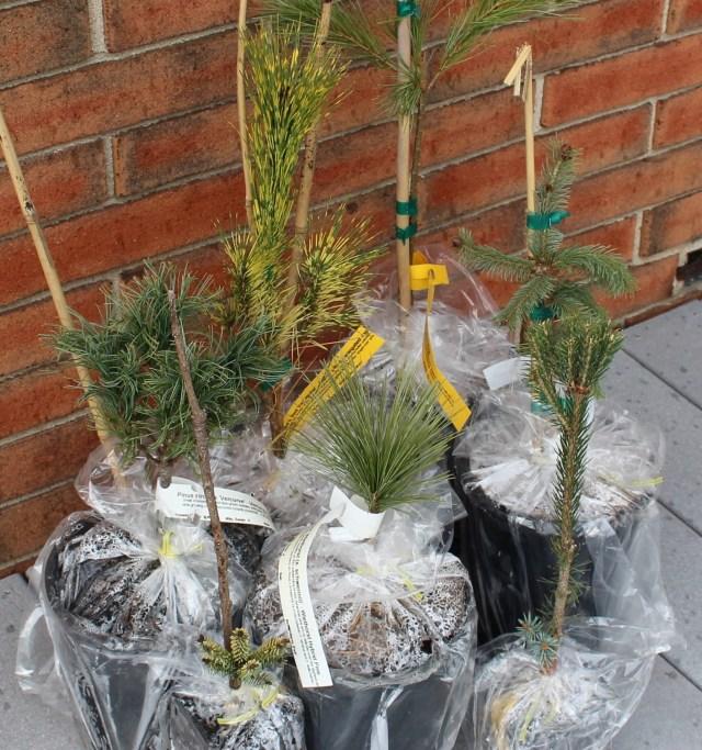 conifer kingdom purchase