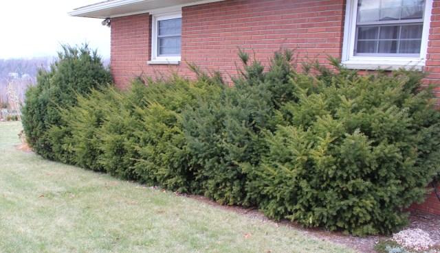 overgrown yew hedge