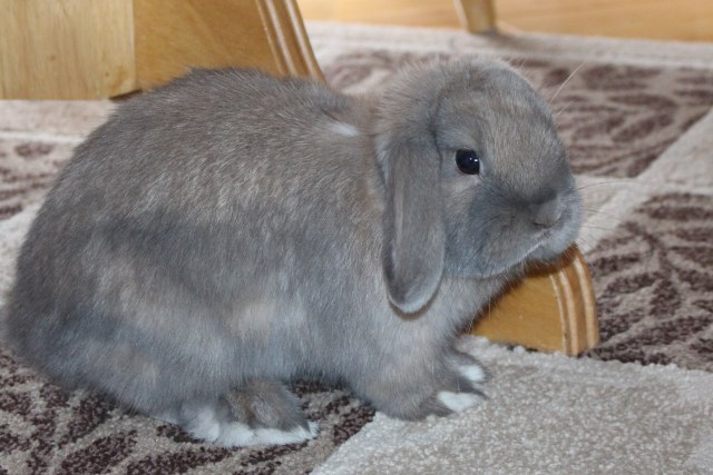 lop eared house bunny