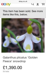 galanthus golden fleece sold on ebay