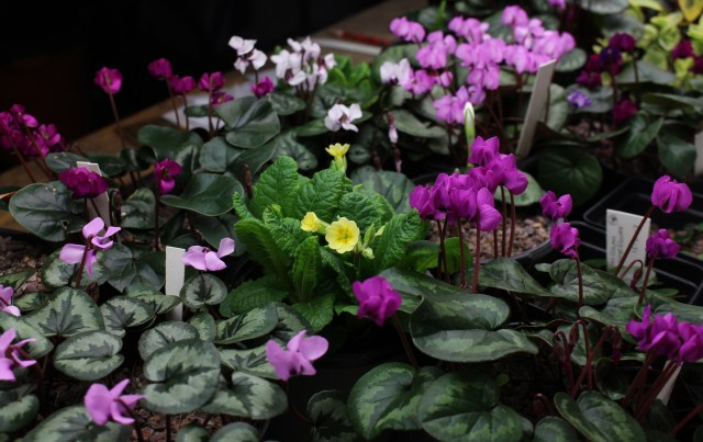 primula and cyclamen under growlights