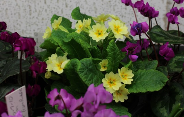 yellow primula polyanthus under lights