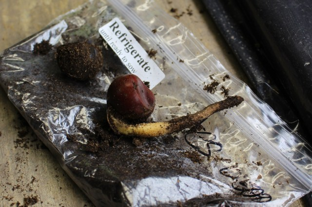 sprouting chestnut seed