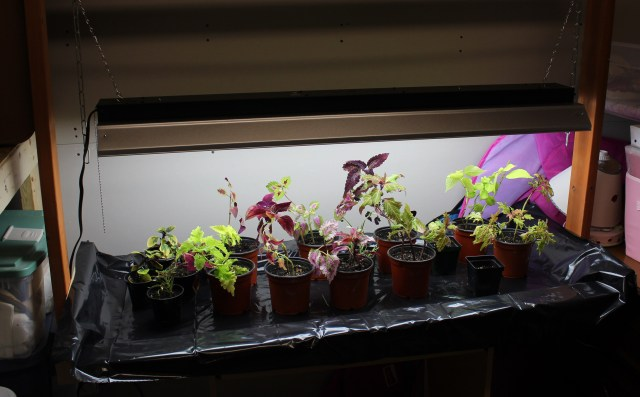 rooting coleus cuttings