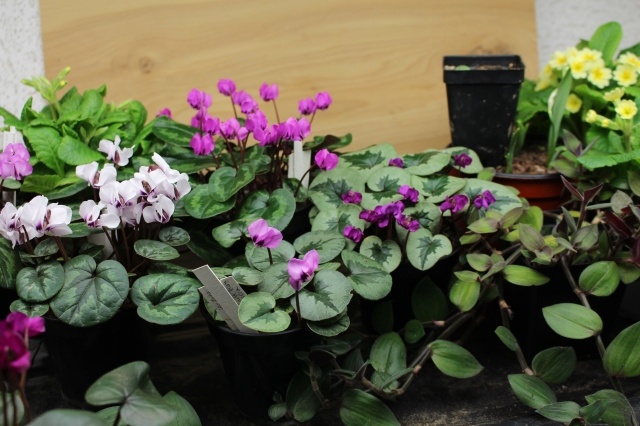 cyclamen coum in pots