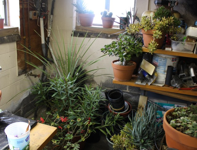 overwintering succulents and tropicals