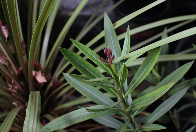 oleander flower bud