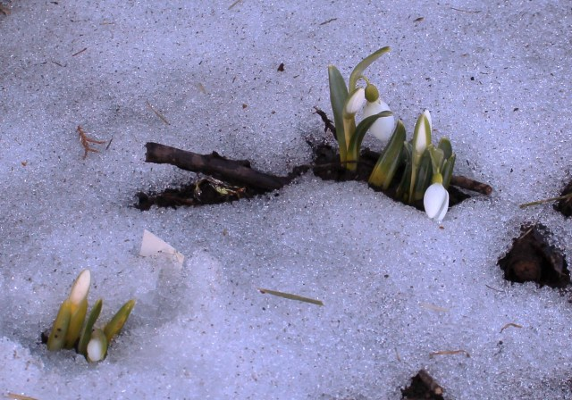 snowdrops emerging from snow