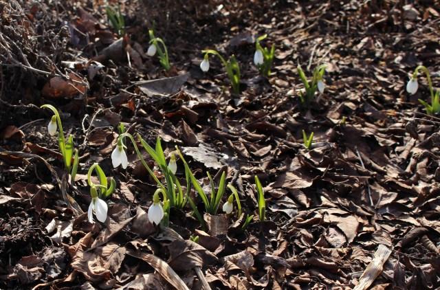 galanthus elwesii snowdrops