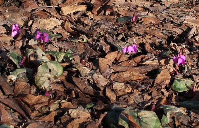 early flowers on cyclamen coum