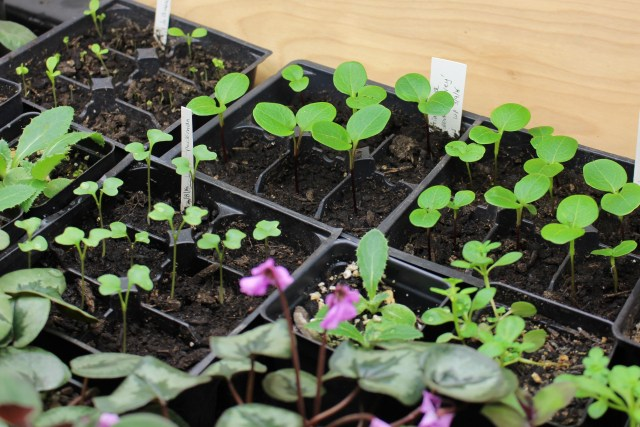 lunaria annua rosemary verey seedlings