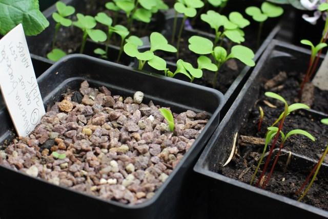veltheimia bracteata seedling