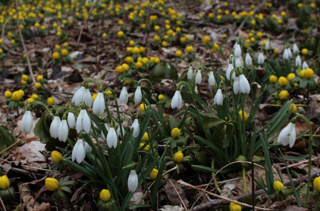 galanthus and winter aconite