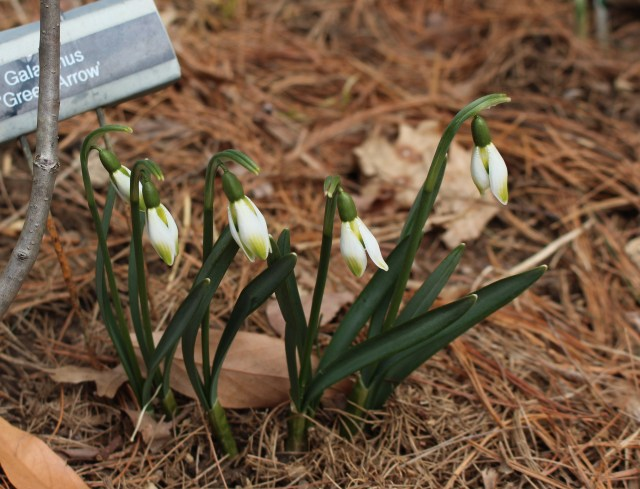 galanthus green arrow