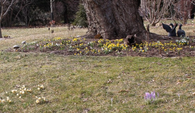 naturalized bulbs in lawn