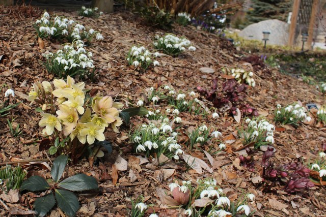 hellebores and snowdrops in the garden