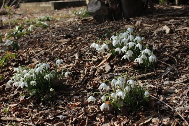 galanthus flore plena