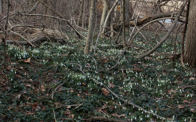 naturalized snowdrops