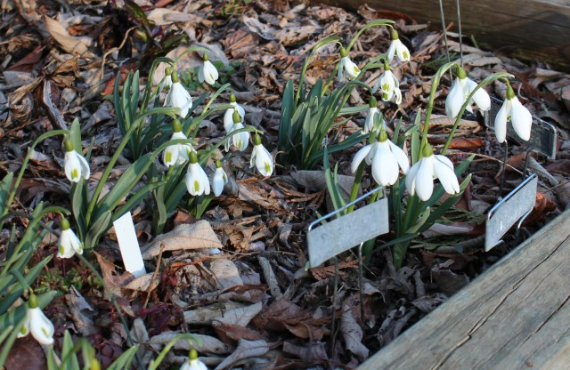 named galanthus with mrs thompson