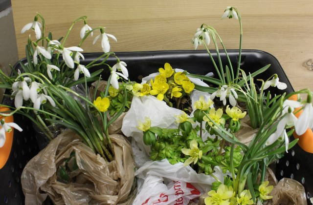 galanthus and eranthis for sale