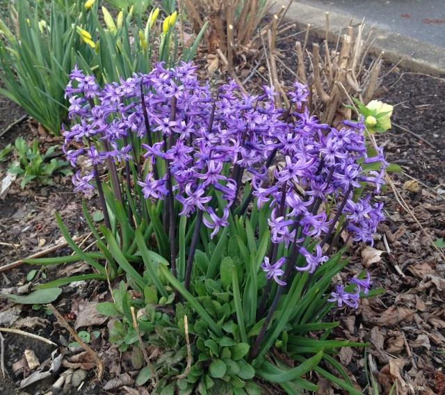 blue multiflowering hyacinth anastacia
