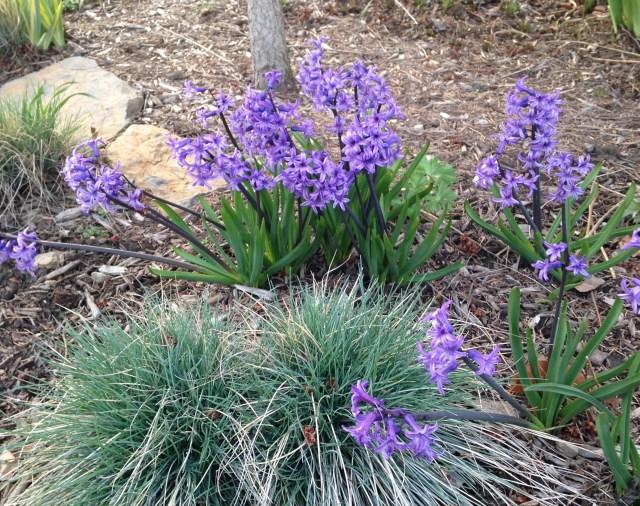 blue hyacinth anastacia
