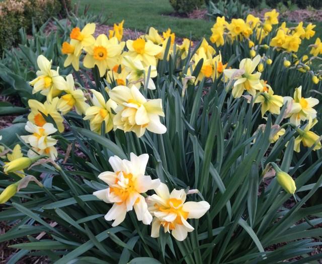 narcissus feu de joi daffodil