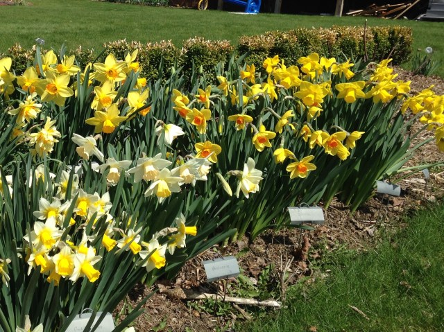 best daffodils