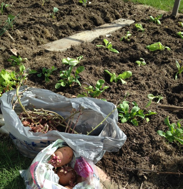 planting sprouted potatoes